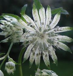 Astrantia major 'Shaggy' ('Margery Fish')