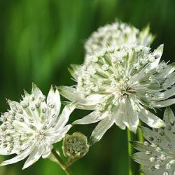 Astrantia major 'Superstar' ® ('White Giant')