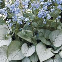 Brunnera macrophylla 'Looking Glass' ®