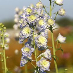 Delphinium 'Moonlight' ® (Highlander™)