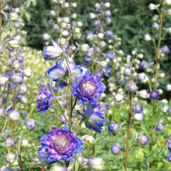 Delphinium 'Sweet Sensation'® (Highlander™)