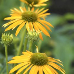 Echinacea 'Now Cheesier' ®