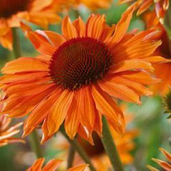 Echinacea 'Orange Passion' ®