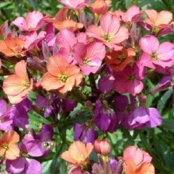 Erysimum x allionii 'Constant Cheer'