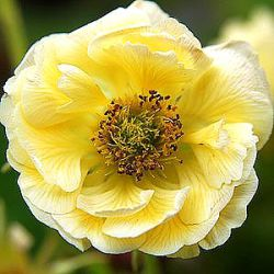 Geum 'Cocktail™ Gimlet' ®
