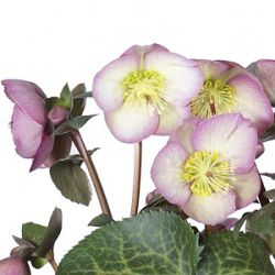 Helleborus hybridus 'Sally's Shell' (Rodney Davey Marbled Group)