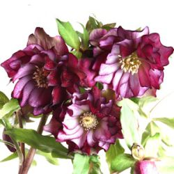 Helleborus orientalis 'Stained Glass'