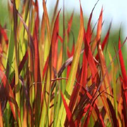 Imperata cylindrica 'Rubra' ('Red Baron')