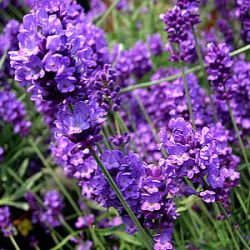 Lavandula angustifolia 'Blue Chip' ®