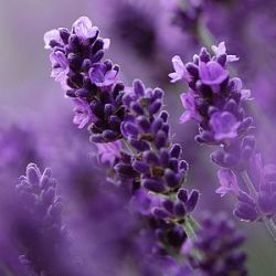 Lavandula angustifolia 'Royal Blue' ® (1 liter)