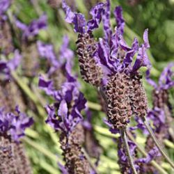 Lavandula stoechas 'Winter Bee' ®
