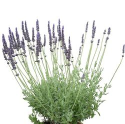Lavandula x 'Big Boy James'