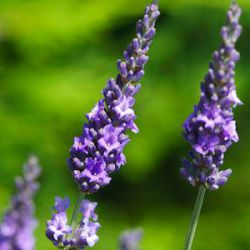 Lavandula x intermedia 'Heavenly Scent' ®