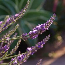 Lavandula x intermedia 'Phenomenal' ® ('Pure Platinum') (grote pot)
