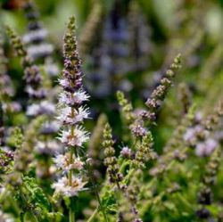 Mentha 'Strawberry Mint'