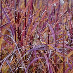 Miscanthus sinensis 'Purple Fall' ®