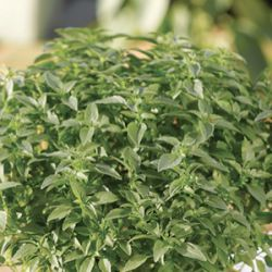 Ocimum 'Green Sensation'