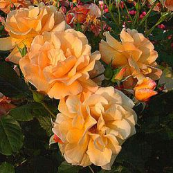 Rosa 'Autumn Sunset' ®
