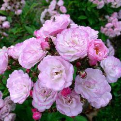 Rosa 'Heavenly Pink' ®