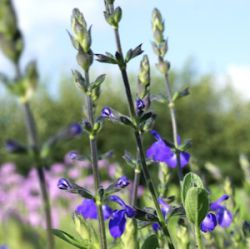 Salvia greggii 'Blue Note'