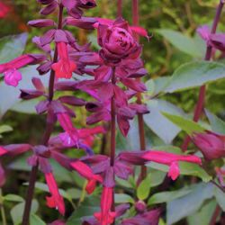 Salvia 'Love & Wishes' ('Serendip6')
