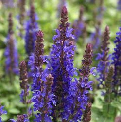 Salvia nemorosa 'Sensation Deep Blue Improved'