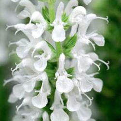 Salvia nemorosa 'Sensation White' ®