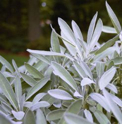 Salvia officinalis 'Garden Grey'