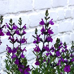 Salvia 'Purple Ginny'