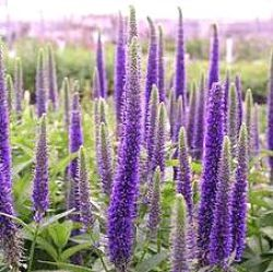 Veronica spicata x longifolia 'Royal Candles' ®