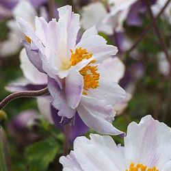 Anemone 'Dreaming Swan' ®