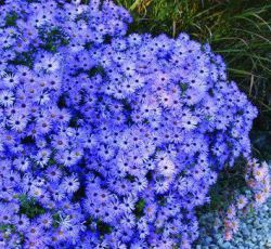 Aster oblongifolium 'October Skies' (Symphyotrichum)