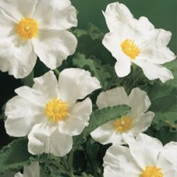 Cistus populifolius subsp. major