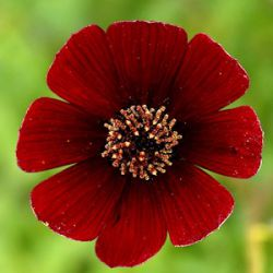 Cosmos atrosanguineus 'Dark Secret' ®