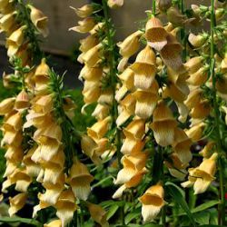 Digitalis 'Spice Island' ®