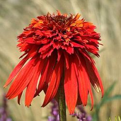 Echinacea 'Hot Papaya' ®