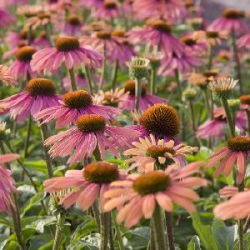 Echinacea 'Summer Cocktail' ®
