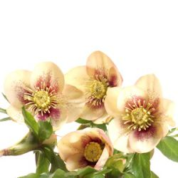 Helleborus orientalis 'Ashwood Fascination' ('Spot on Apricot')