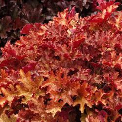 Heuchera 'Ginger Peach' ®