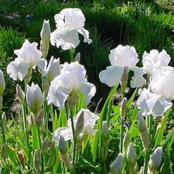 Iris 'Immortality' (G)