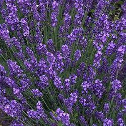 4cb11605259 kwekerij Bastin, vaste planten, lavendel, kruiden, prairieplanten ...
