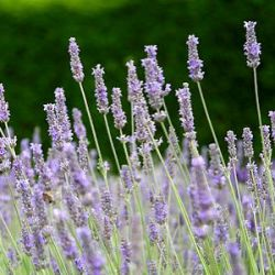 Lavandula x intermedia 'Fragrant Memories'