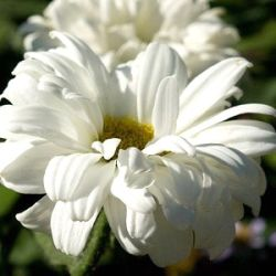 Leucanthemum 'Victorian Secret' ®