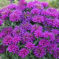 Monarda didyma 'Grape Gumball' ®