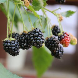 Rubus fruticosus 'Lowberry Little Black Prince' ®