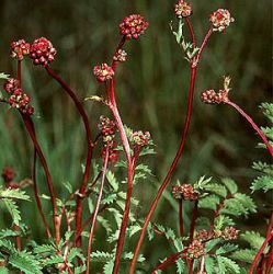 Sanguisorba minor (Poterium sanguisorba)
