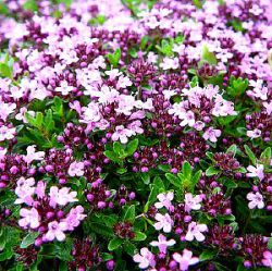Thymus serpyllum 'Magic Carpet'