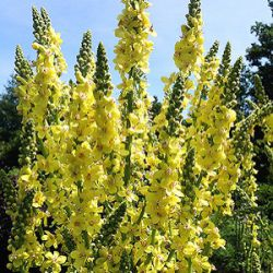 Verbascum 'Christo's Yellow Lightning'