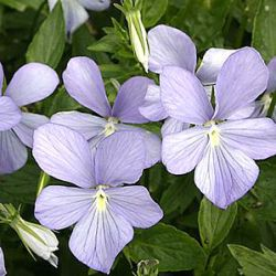 Viola 'Belmont Blue' ('Boughton Blue') (C)